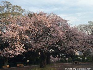2016年桜満開