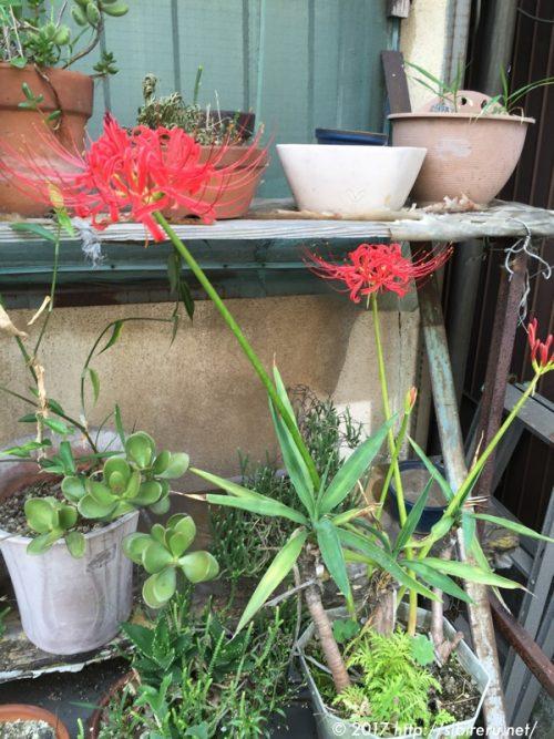 ヒガンバナ 曼珠沙華の花
