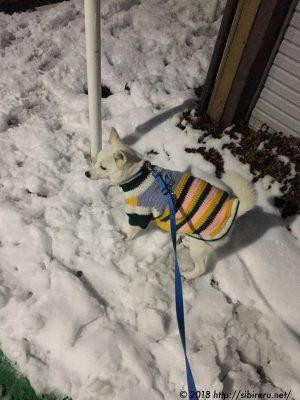 保護犬あかねの雪道散歩
