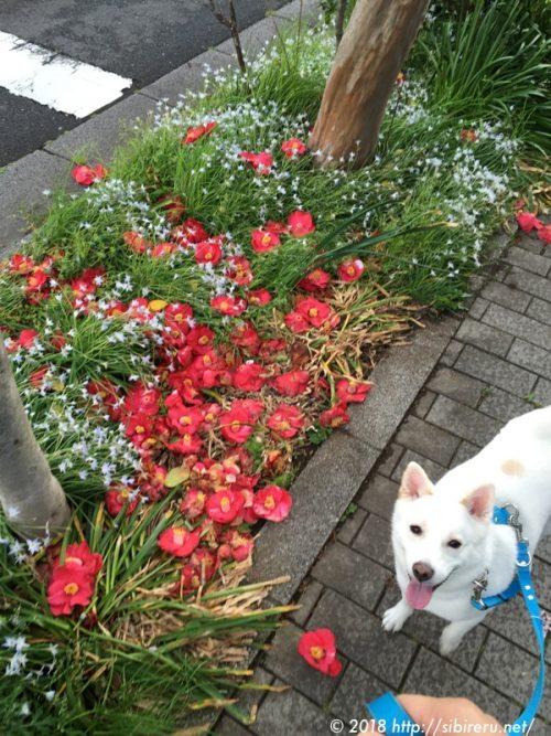 赤い花と白い犬
