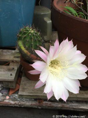 綺麗なサボテンの花